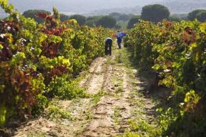 Ribera de Duero colheita